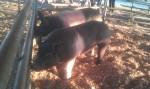 Big Pig Jig 45